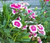 Dianthus (Sweet William, Carnation, Pink) 50 seed - FREE POST